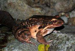 Frogs flown from Montserrat to flee deadly fungus (AP)