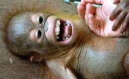 Ha-Ha! Ape study traces evolution of laughter (AP)