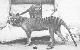 Hair of Tasmanian Tiger Yields Genes of Extinct Species