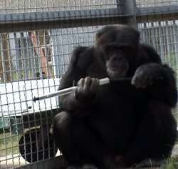Here's one I made earlier: Chimps learn from watching videos