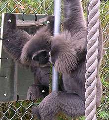 Holding a mirror up to a gibbon's mind