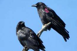 Incest can lead to more disease in offspring, crow study finds
