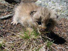 Litter of lynx kittens heartens Colo. biologists (AP)