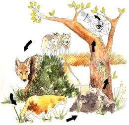 Loss of top predators causing surge in smaller predators, ecosystem collapse