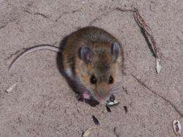 Mice living in sandy hills quickly evolved lighter coloration