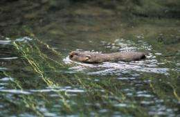 Mink control vital to save water voles