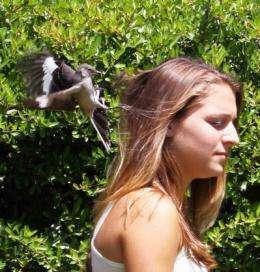Mockingbirds, no bird brains, can recognize a face in a crowd