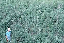 New Switchgrass Germplasm Collected in Florida