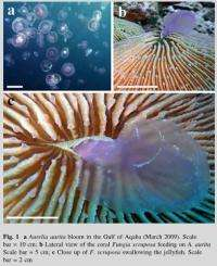 Red Sea coral seen to feed on jellyfish
