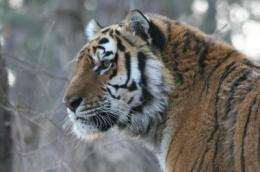 Report shows dramatic decline in Siberian tigers