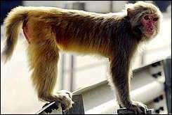 Rhesus macaque