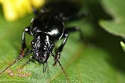 Spying on Corn Rootworm Predators Nightlife