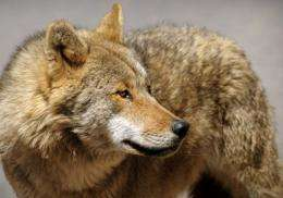 Sweden's wolf population is estimated to be between 182 and 217 animals