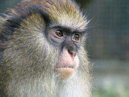 Syntax in our primate cousins