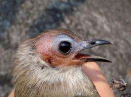 The bird is not completely bald but has a narrow line of hair-like feathers down the centre of its crown