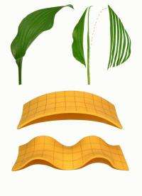The cause behind the characteristic shape of a long leaf revealed