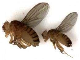 UM scientists create fruit fly model to help unravel genetics of human diabetes