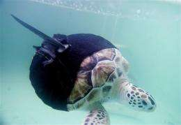 Uni-flipper turtle gets it straight with swimsuit (AP)