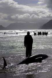 Volunteers attempt to save Pilot whales in May