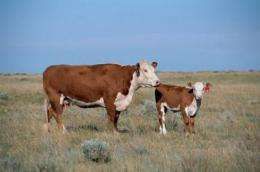 What makes a cow a cow? Genome sequence sheds light on ruminant evolution