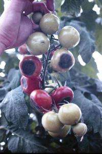 Blossom end rot: Transport protein identified