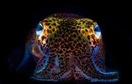 Glowing squid thrive in symbiotic relationship