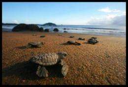 How learning more about mass nesting can help conserve sea turtles