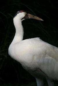 National Zoo Welcomes Whooping Crane