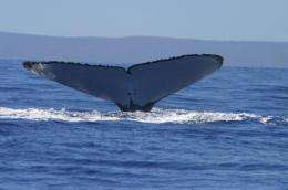 New, higher estimates of endangered humpback whales in the North Pacific