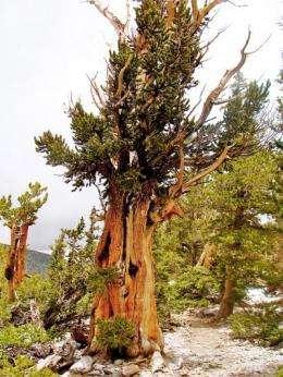 Tree rings tell a 1,100-year history of El Niño