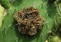 How unrelated wasps succeed by helping others breed