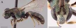 Researcher identifies 11 new sweat bee species