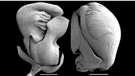 Development of keeled flowers