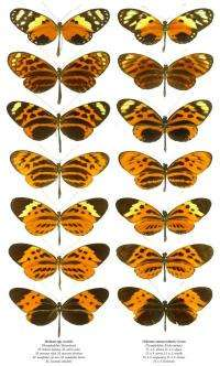 Research reveals how butterflies copy their neighbors to fool birds