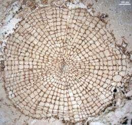 Scientists identify oldest wood specimens