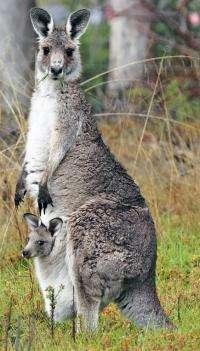 Adoptions and offspring swapping stun kangaroo researchers