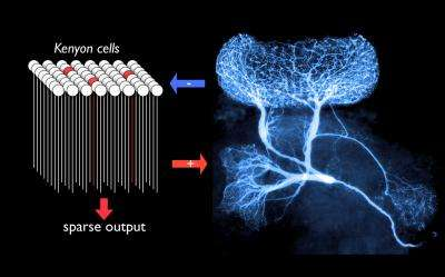 A giant interneuron for sparse coding