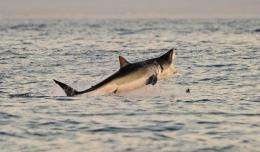 A Great White shark jumps out of the water as it hunts Cape fur seals