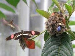 An eye gene colors butterfly wings red