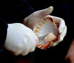 An underwater current from the tsunami has ruined Tongoy's scallop beds