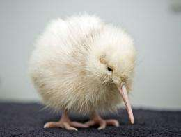A rare white kiwi
