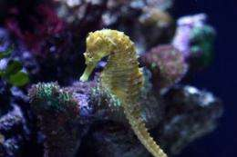 A seahorse swims in an aquarium in Long Beach, California