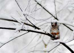 A squirrel sits on a snowy tree branch in a Moscow park