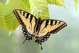 A tale of (more than) two butterflies