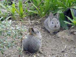 Believing in the pygmy bunny