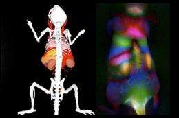 Better viewing through fluorescent nanotubes when peering into innards of a mouse