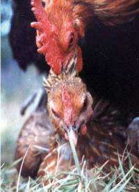 Chickens eject sperm from males they don't fancy