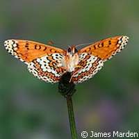 Curious butterflies are genetically different