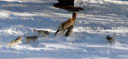 Strength in numbers? For wolves, maybe not
