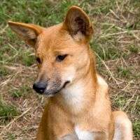Dingo came earlier and by different route: study